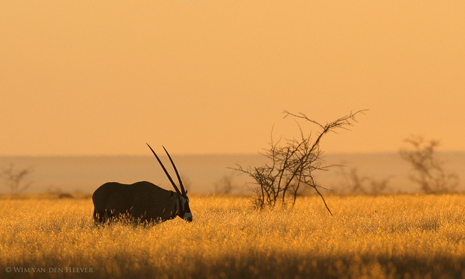 An antelope grazing in the grassland