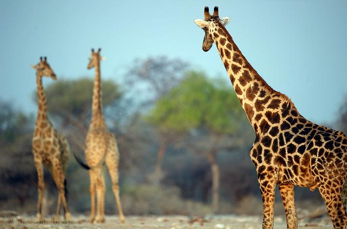 Three giraffe