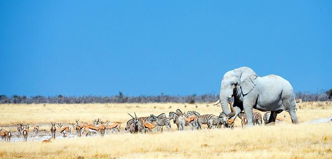 Elephant and grazers in Etosha National Park, Namibia