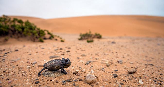 Chameleon in the Namibian desert
