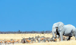 An elephant makes its way to a waterhole in Etosha © Wim van den Heever