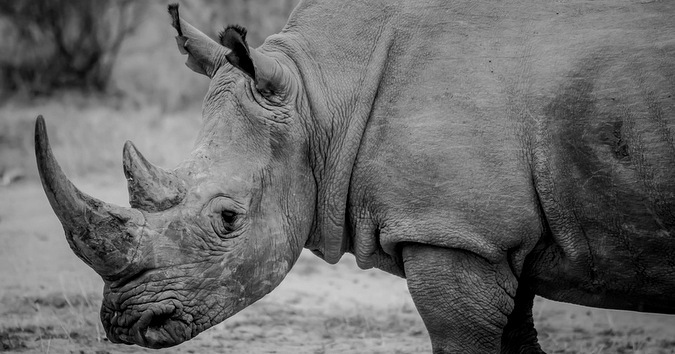 white rhino, black and white