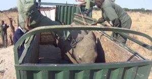 Elephant kicked during capture in Zimbabwe