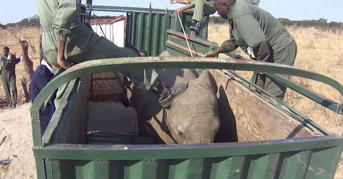 Elephant kicked during capture in Zimbabwe