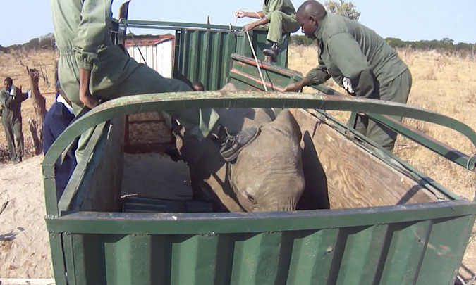 Elephant calf mistreated after capture in Zimbabwe