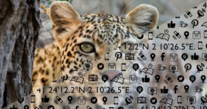 leopard peering into the camera with technology icon overlay