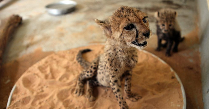 Two cheetah cubs that will be sold over the black market in the UAE