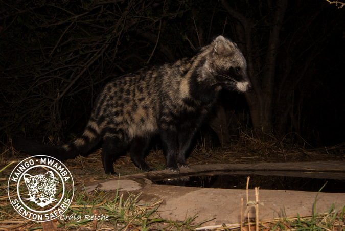 African civet caught with a camera trap