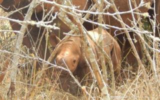 The eastern black rhino calf and mom in Akagera National Park, Rwanda © Augustin Manirarora / African Parks