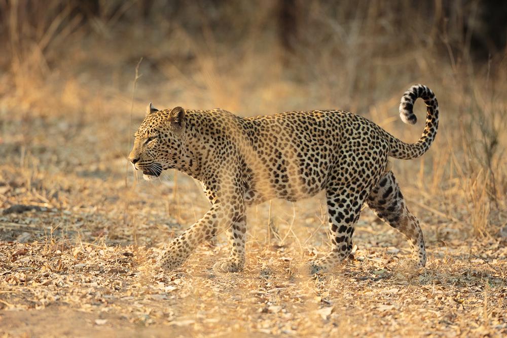 A majestic leopard spotted in South Luangwa, Zambia © Edward Selfe