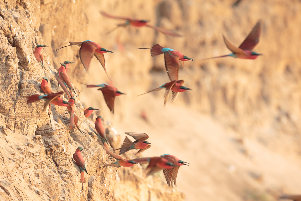 Southern carmine bee-eaters on the river bank.