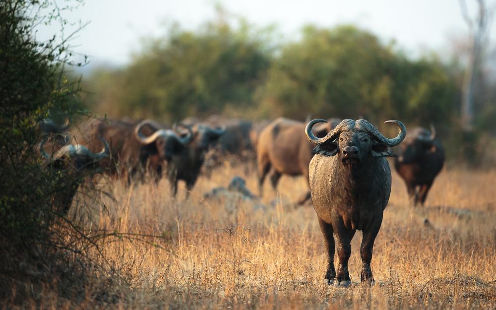 A herd of buffalo in South Luangwa, Zambia © Edward Selfe