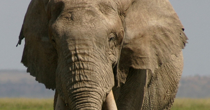 Little Male, the giant elephant killed by Kenyan authorities because he is suspected of killing a farmer
