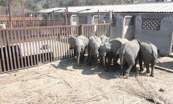 Captured elephants huddled together in fear