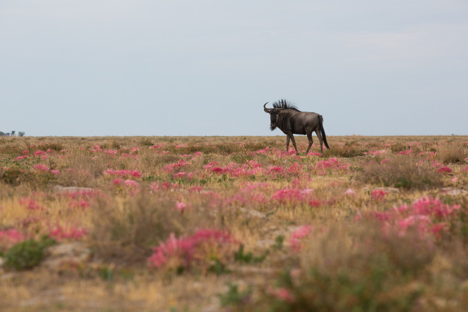 Wildebeest with wild flowers