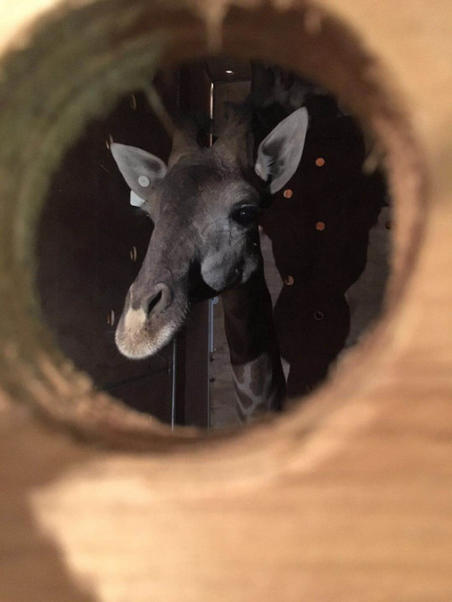 Giraffe inside a crate heading to China