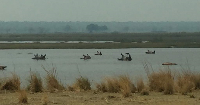 Hippos carcasses in a lake in northeastern Namibia