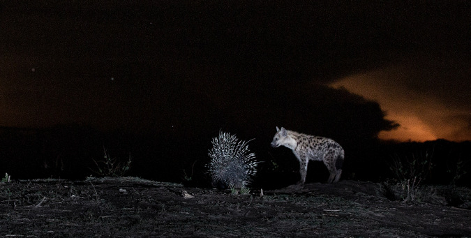 Porcupine and hyena at night