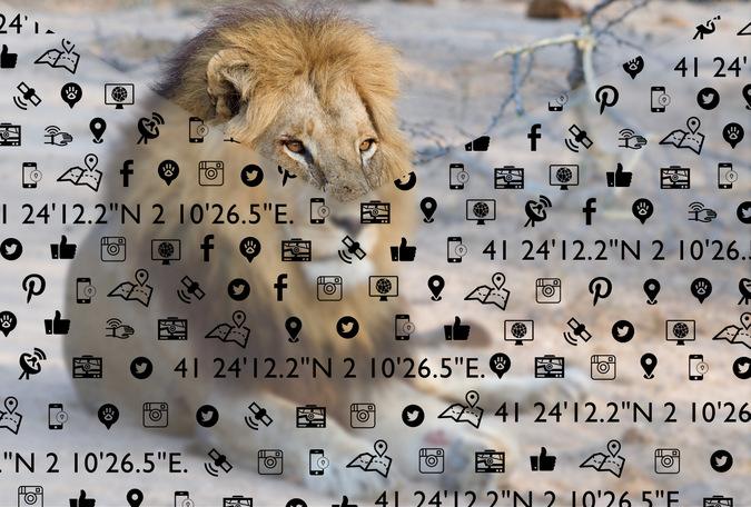 Lion resting in Kruger