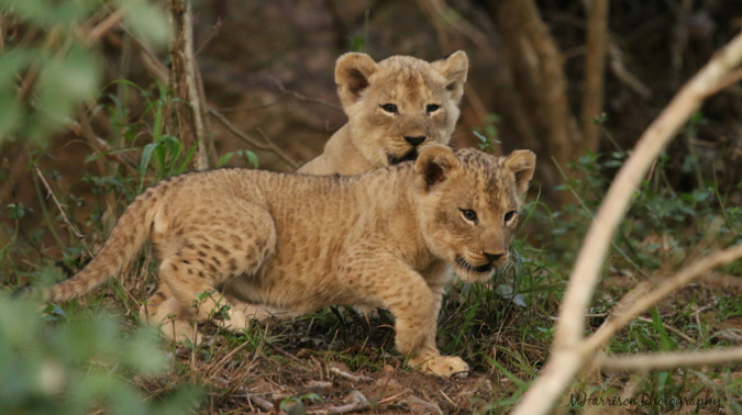 Two very young lion cubs