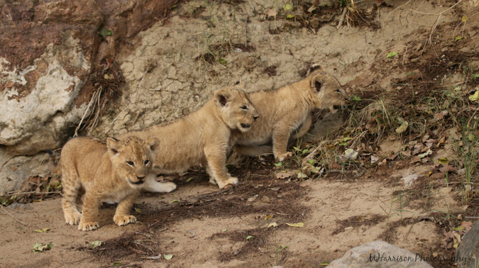 Three young lion cubs