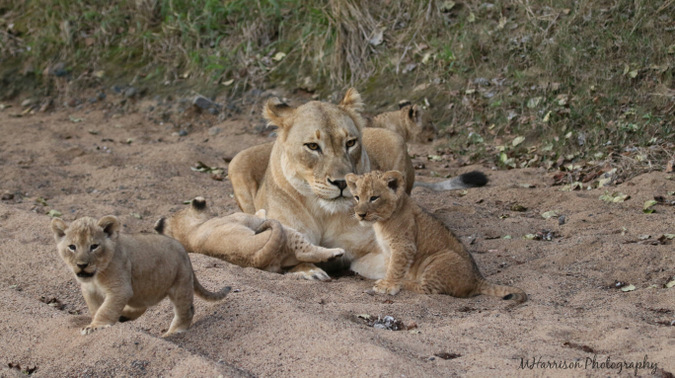 lioness and her young cubs