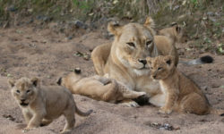 lioness with cubs © M. Harrison