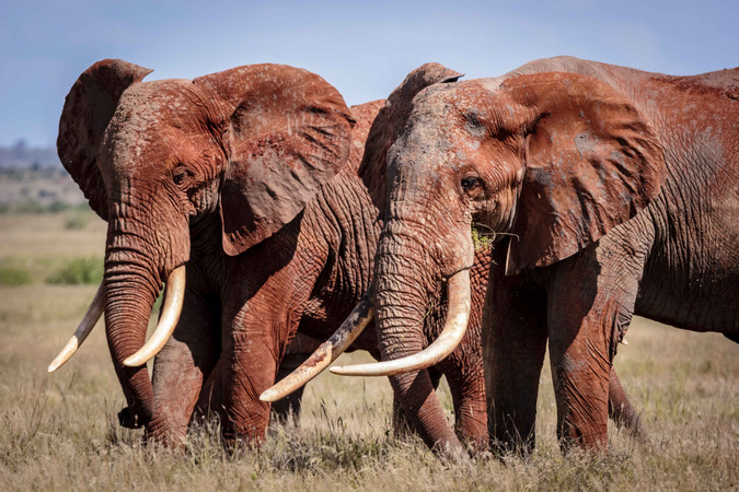 Tsavo's elephants, also known as 'Tuskers'
