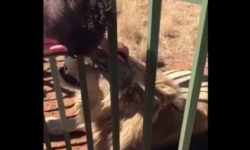 A lion bites a man's hand through a fence