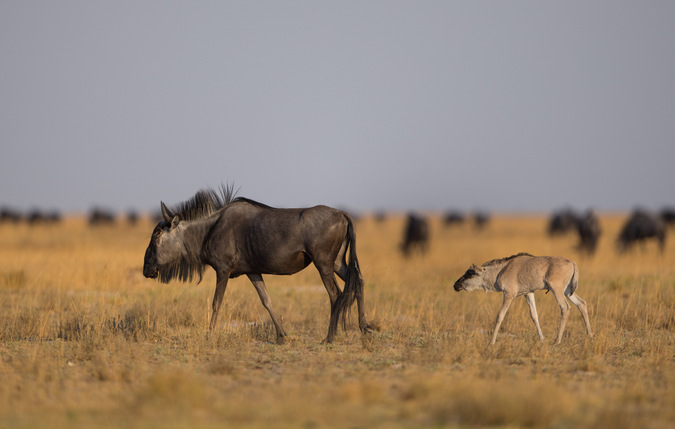 Wildebeest and calf