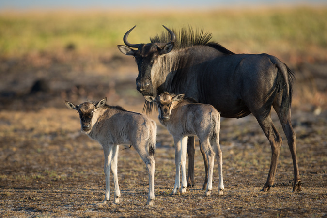 Wildebeest and calves