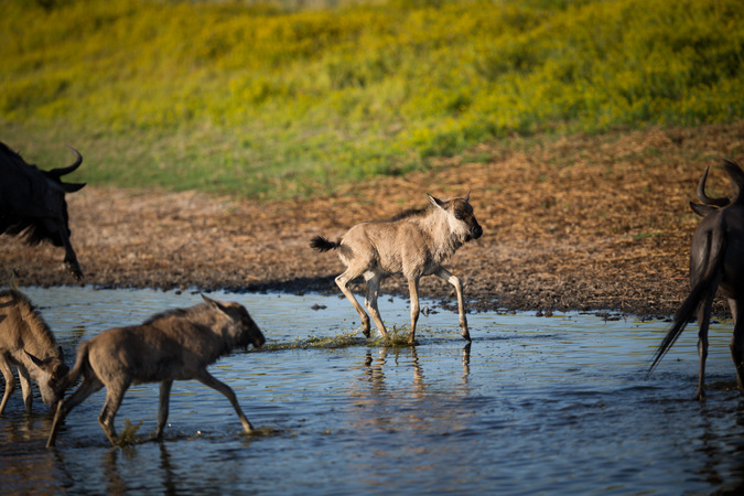 Wildebeest calf running through water