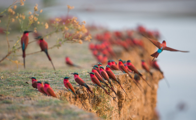 Carmine bee-eaters in South Luangwa, Zambia