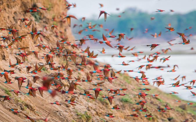 Carmine bee-eaters in flight in South Luangwa, Zambia