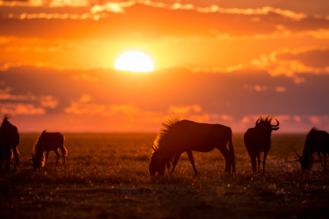 Sunset with wildebeests