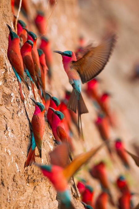 Carmine bee-eaters on the side of a riverbank
