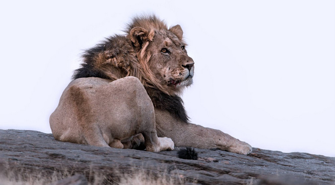 Male lion lying on rocky outcrop