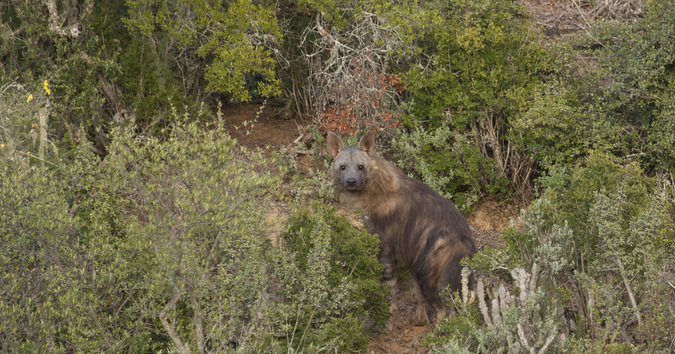 A brown hyena in the bush