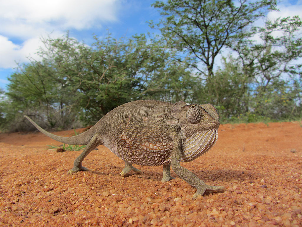 Chameleon on green season safari in Botswana with Africa Geographic
