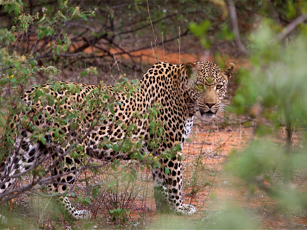 Leopard in Botswana with Africa Geographic