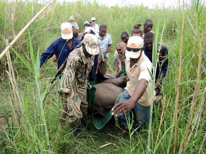 Rescuing an elephant orphan calf