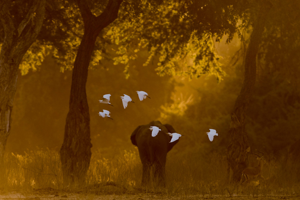 Bull elephant and a flock of egrets