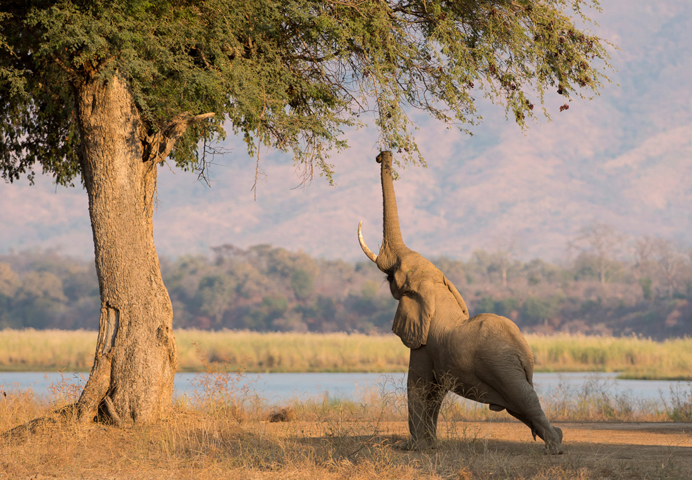Elephant grabbing leaves from a tall tree with trunk