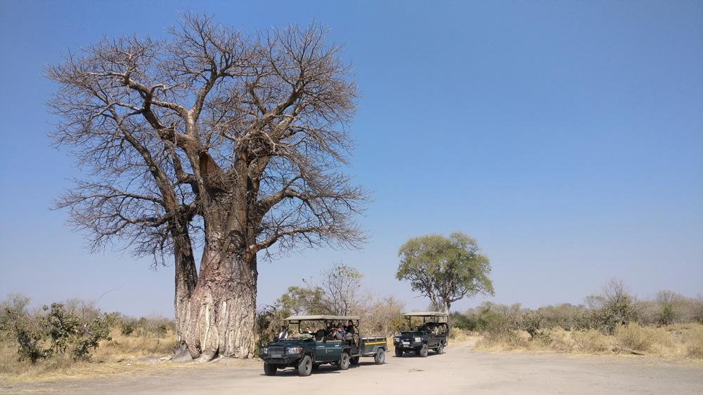 Safari vehicles stopped under a baobab tree