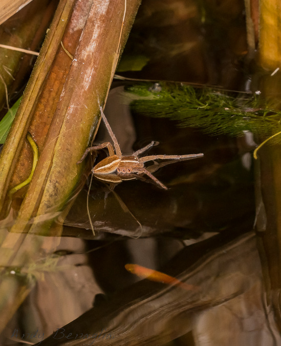 Fishing spider on the water