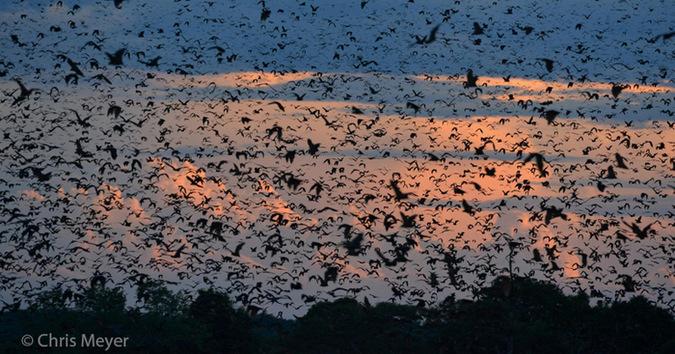 A swarm of bats in Kasanka National Park, Zambia