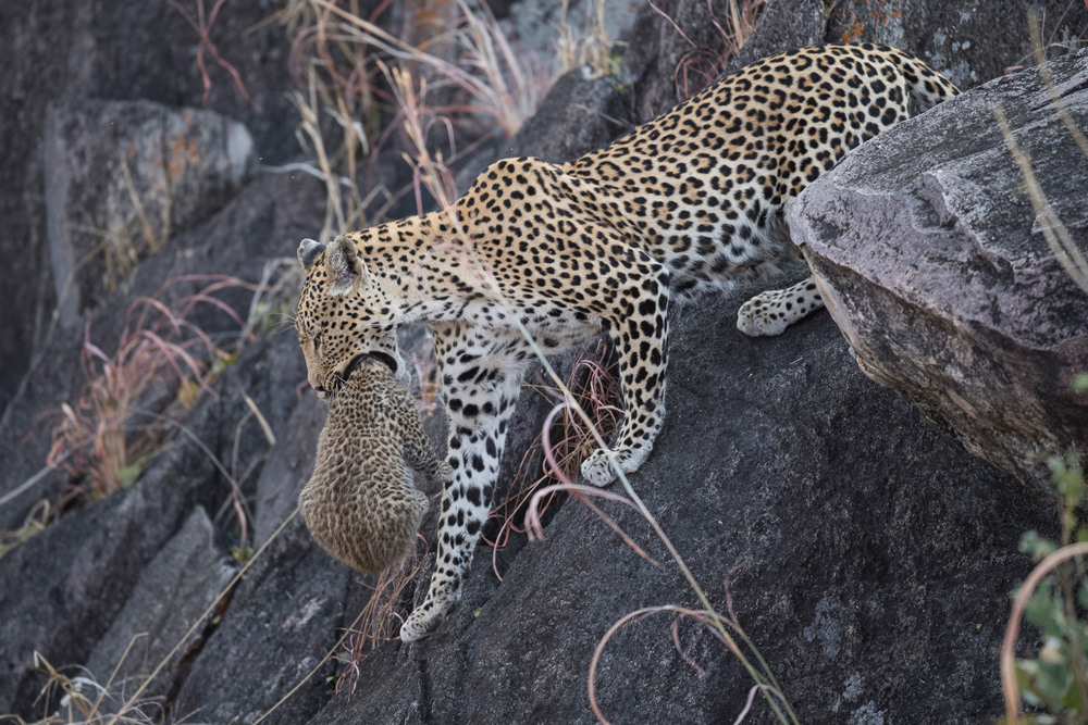 Leopard mother carrying her cub