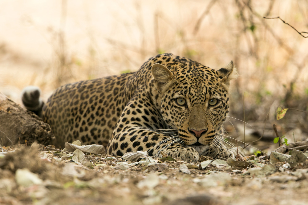 Close up photo of a leopard