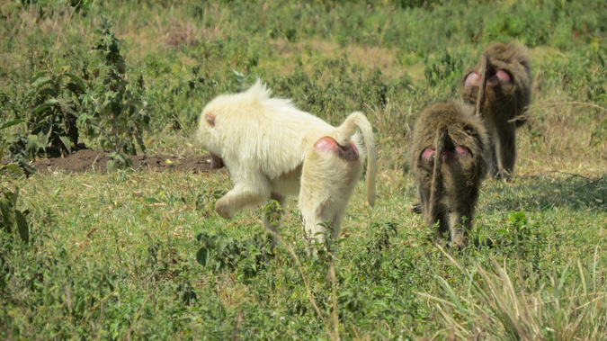 White baboon foraging with other baboons