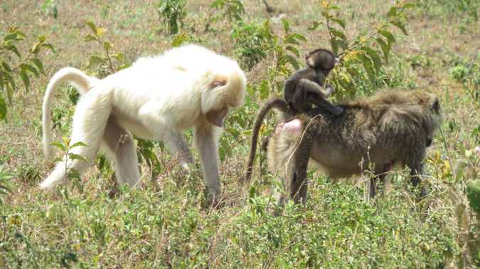 White baboon with normal coloured baboons
